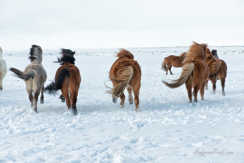 icelandic pony-17