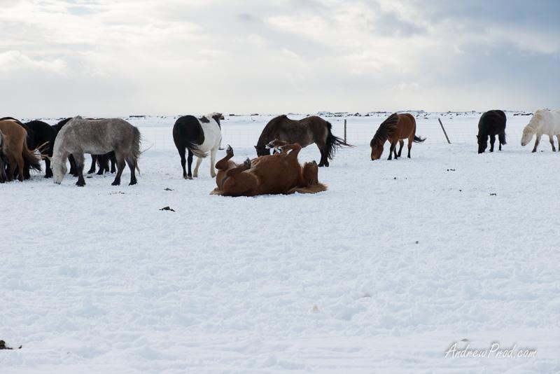 icelandic pony-21