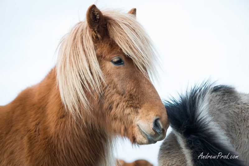 icelandic pony-79