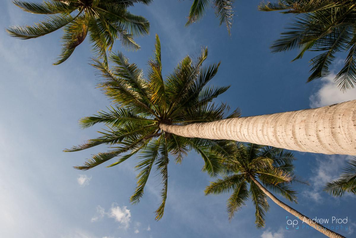 Coconut_trees (2)